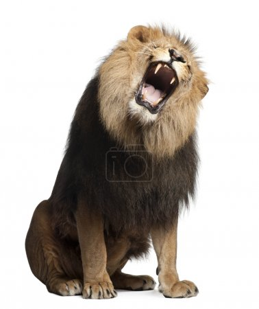 Photo for Lion, Panthera leo, 8 years old, roaring in front of white background - Royalty Free Image
