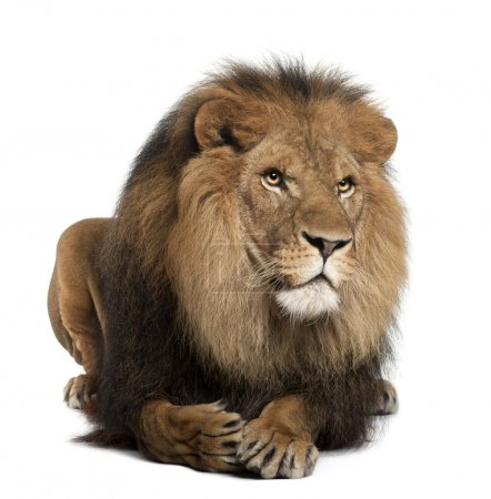 Lion, Panthera leo, 8 years old, lying in front of white background