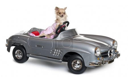 Chihuahua, 11 months old, driving a convertible in front of white background