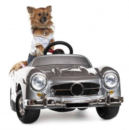 Dressed up Chihuahua driving convertible in front of white background