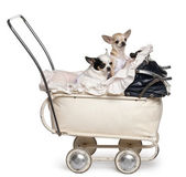 Chihuahuas, 1 year old, in baby stroller in front of white background