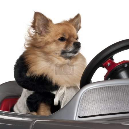 Close-up of Chihuahua driving convertible in front of white back