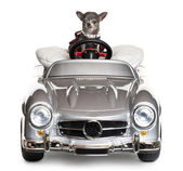 Chihuahua driving a convertible in front of white background