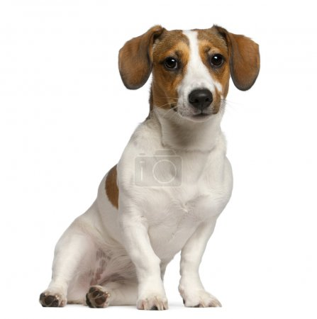 Jack Russell Terrier, 11 months old, sitting in front of white background