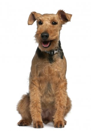 Photo pour Welsh Terrier, 6 ans, assis devant fond blanc - image libre de droit