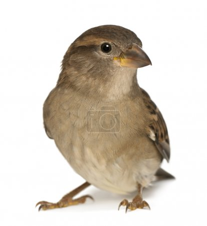 Female House Sparrow - Passer domesticus (5 months...