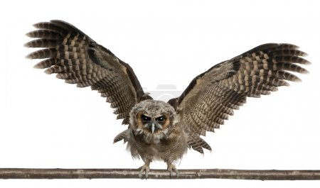 Photo for Portrait of Brown Wood Owl, Strix leptogrammica, flying in front of white background, six months old - Royalty Free Image