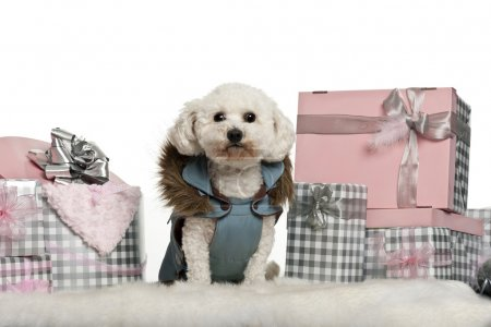 Maltese, 5 years old, sitting with Christmas gifts in front of white background