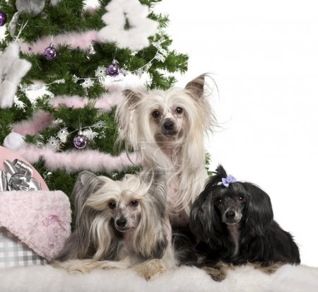 Chinese Crested Dogs, 6, 4 and 9 years old, lying with Christmas gifts in front of white background
