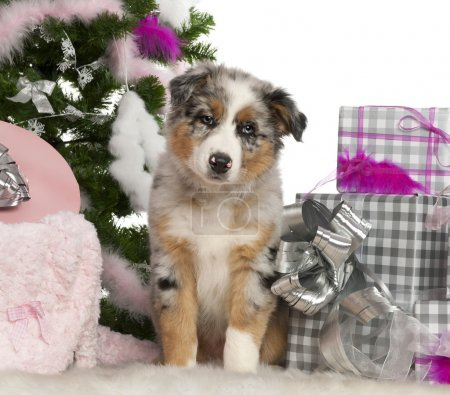 Australian Shepherd puppy, 2 months old, with Christmas tree and gifts in front of white background