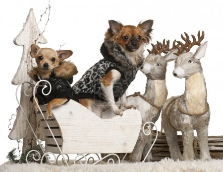 Chihuahua puppy, 6 months old, and Chihuahua, 9 months old, in Christmas sleigh in front of white background