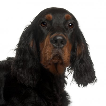 Gordon Setter puppy, 6 months old, in front of whi...