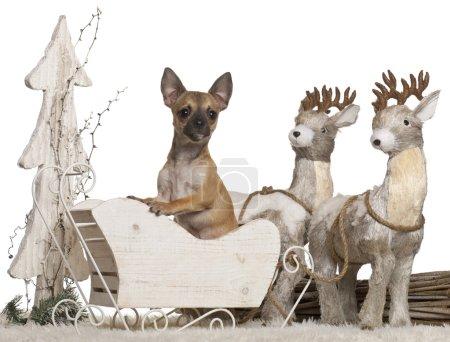 Photo pour Chihuahua, 5 mois, en traîneau de Noël devant fond blanc - image libre de droit