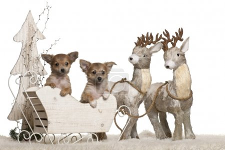 Chihuahua puppies, 3 months old, in Christmas sleigh in front of white background