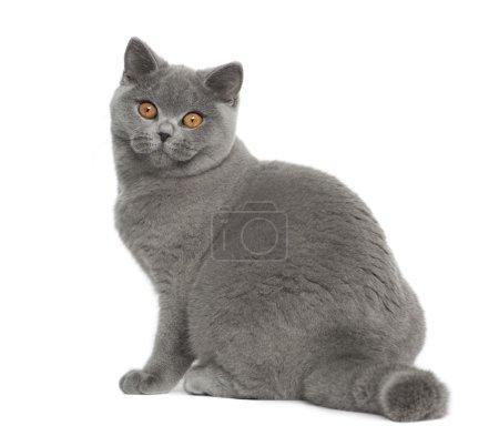 Photo pour Portrait de chat britannique à poil court, 5 mois, assis devant un fond blanc - image libre de droit