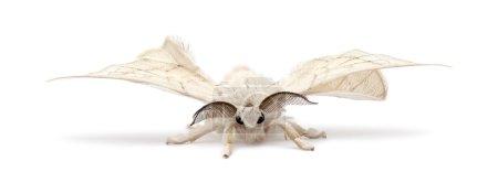 Foto de Silkmoth domesticado, Bombyx mori, sobre fondo blanco - Imagen libre de derechos