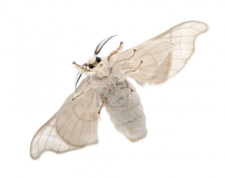 Foto de Silkmoth domesticado, Bombyx mori, vista inferior sobre fondo blanco - Imagen libre de derechos