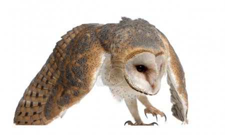 Barn Owl, Tyto alba, 4 months old, against white background