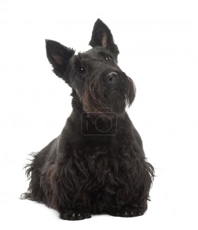 Scottish Terrier, 20 months old, standing against ...