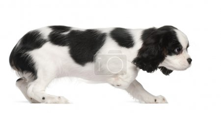 Cavalier King Charles Spaniel puppy, 3 months old, against white background