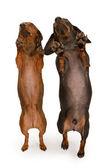 deux chiens teckel danse