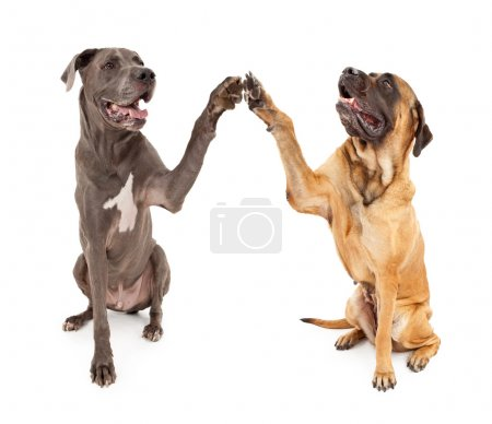 Great Dane and Mastiff Dogs Shaking Hands