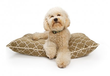 Golden Color Labradoodle Dog with Clipping Path
