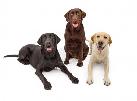 Different Color Labrador Retriever Dogs