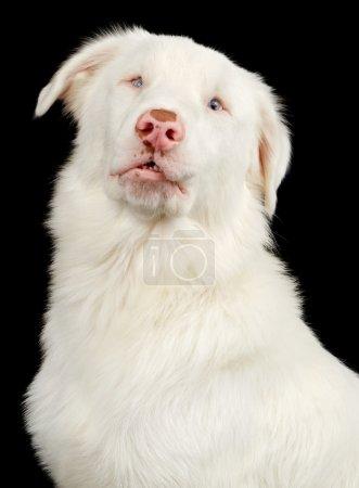 White Australian Shepherd Dog