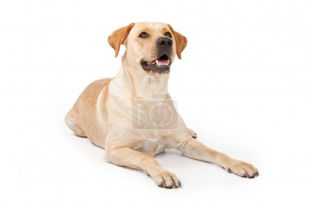 Yellow Lab Laying Down