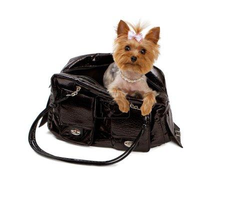 Yorkshore Terrier in a Black Travel Bag