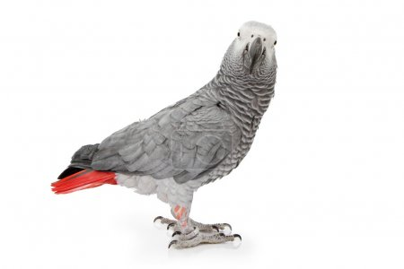 Photo for An African Grey Parrot isolated on a white background - Royalty Free Image