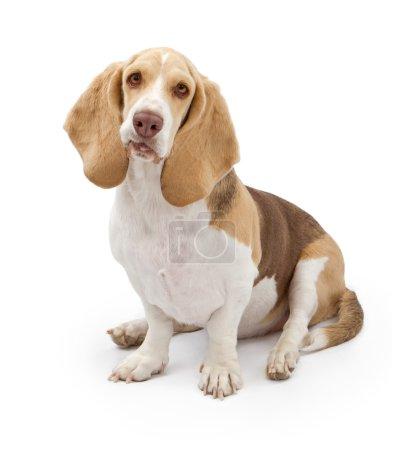 Basset Hound Dog with light color coat