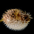 An angry puffed up blow fish on a black background...
