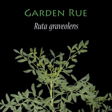 Photo pour Aussi connu sous le nom Herb of Grace - image libre de droit
