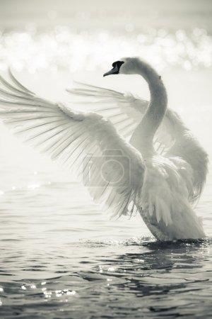 Photo pour Gracieux cygnes sur un lac en noir et blanc - image libre de droit