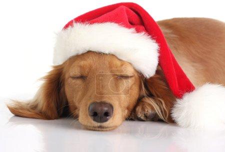 Sleepy Santa dog