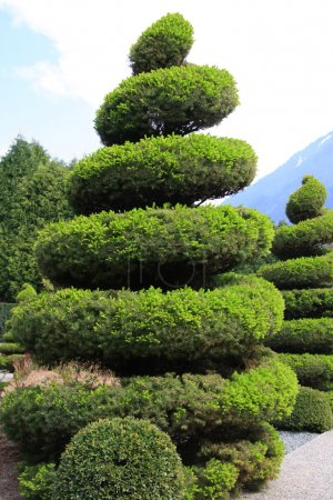 Large evergreen topiary