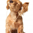 Young puppy listening to music on a head set....