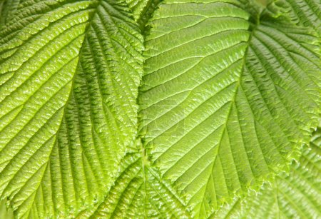 Photo for Closeup of bright green leaves. - Royalty Free Image