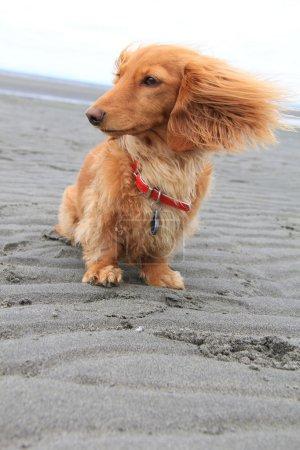 Photo pour Journée venteuse à la plage pour ce petit chiot teckel . - image libre de droit