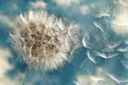 Photo pour Le pissenlit perd ses graines dans le vent - image libre de droit