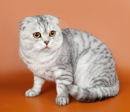 Scottish fold on orange background...