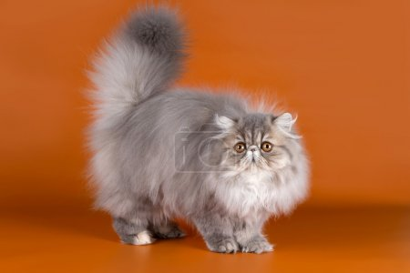 Persian cat on orange background