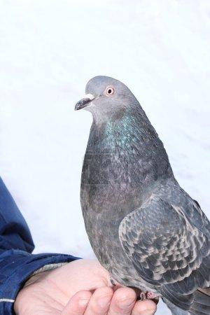 Photo pour Une colombe est assise sur les mains d'un homme - image libre de droit