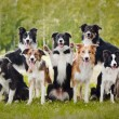 Group of happy dogs border collies on the grass in...