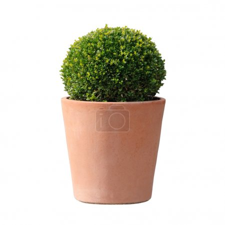 Photo for Decorative boxwood plant in a terracotta pot isolated on white background - Royalty Free Image