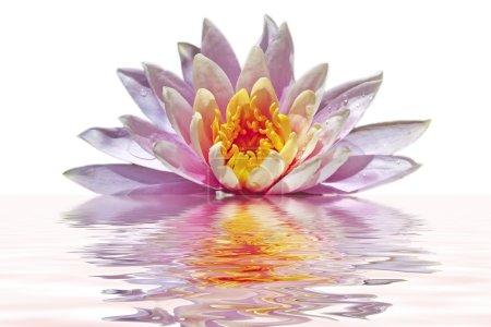Photo pour Fleur de lotus rose belle flottant dans l'eau - image libre de droit
