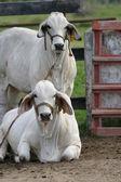 Cebu cows