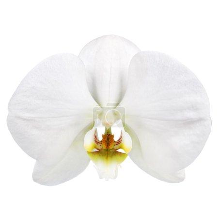 Photo pour Fleur d'orchidées blanches isolée sur fond blanc - image libre de droit